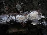 Stromatoscypha fimbriata image