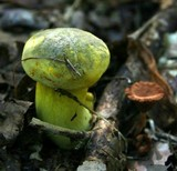 Boletus pseudosulphureus image