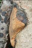 Dichomitus campestris image