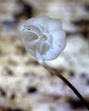 Marasmius limosus image