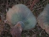 Lactarius deliciosus var. areolatus image