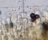 Lactarius lignyotellus image