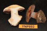 Cortinarius cedretorum image