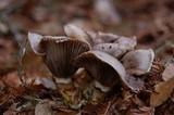 Gomphidius oregonensis image