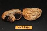 Agaricus inapertus image