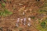 Cortinarius camphoratus image