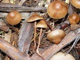 Hypholoma dispersum image