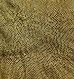 Hexagonia variegata image