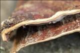 Stereum subtomentosum image