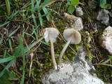 Image of Entoloma politoflavipes