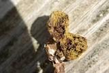 Lycoperdon acuminatum image