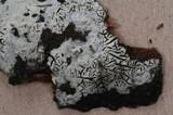 Hypochnicium geogenium image