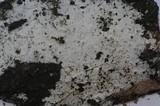 Athelia neuhoffii image