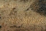 Hyphodontia breviseta image