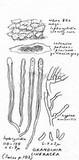 Hyphodontia cineracea image