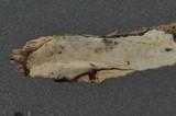 Hyphoderma amoenum image