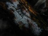 Sistotrema brinkmannii image