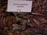 Image of Pseudocyphellaria anomala
