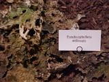 Image of Pseudocyphellaria anthraspis