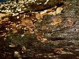 Melanotus horizontalis image