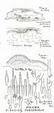 Phlebia subserialis image