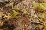 Hyphodontia nespori image