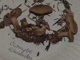 Clitocybe sclerotoidea image