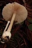 Volvariella hypopithys image