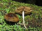 Bolbitius viscosus image