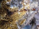 Serpula himantioides image