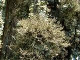 Anaptychia setifera image