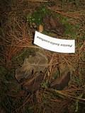Guepinia helvelloides image