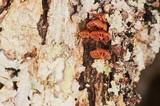 Phaeomarasmius rimulincola image