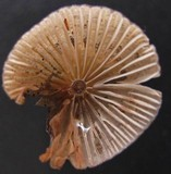 Mycena alcaliniformis image