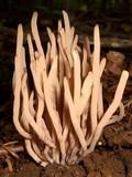 Clavaria rubicundula image