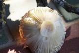 Russula sanguinaria image