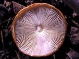 Limacella glischra image
