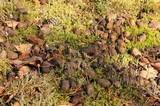 Panaeolus alcis image