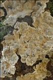 Stereum rugosum image