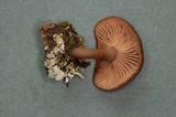 Pseudoclitocybe cyathiformis image