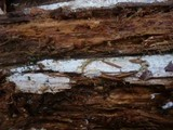 Hypochnicium sphaerosporum image