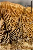 Gloeophyllum sepiarium image