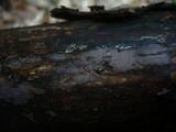 Peniophora cinerea image