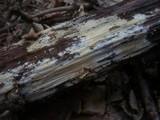 Sistotrema raduloides image
