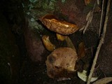 Rubinoboletus caespitosus image