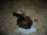 Agaricus langei image