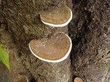Ganoderma testaceum image