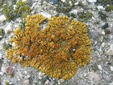 Caloplaca saxicola image