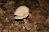 Lactarius marylandicus image
