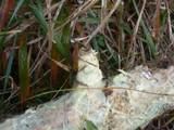 Amylocorticium subincarnatum image